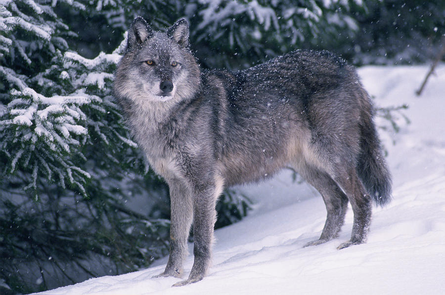 T Kitchin 19821c Gray Wolf Winter Photograph By First Light