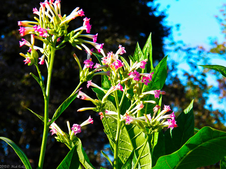 Tobacco Blooms Photograph
