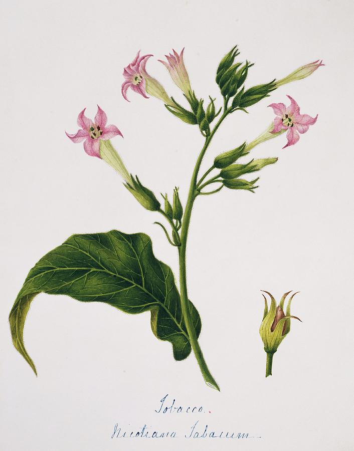 Nicotiana Tabacum Photograph - Tobacco Flowers by Natural History Museum, London/science Photo Library