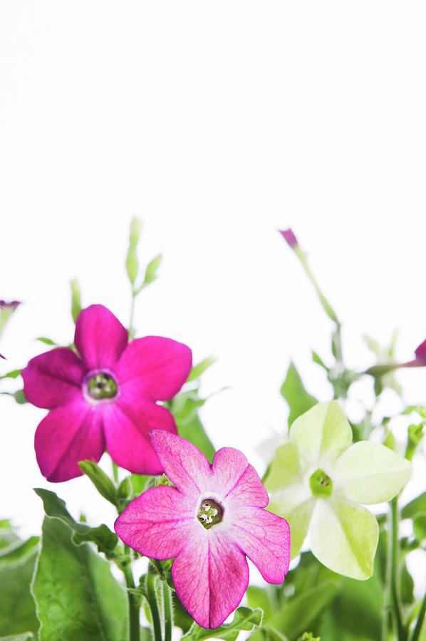 Nicotiana Tabacum Images: Tobacco Plant (nicotiana Tabacum) Photograph By