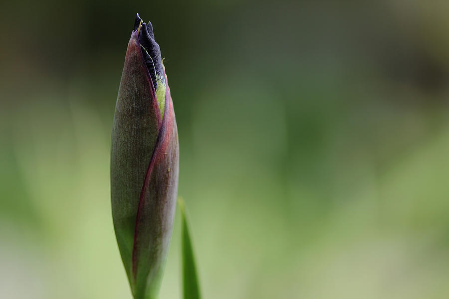Iris Photograph - Today A Bud - Purple Iris by Debbie Oppermann