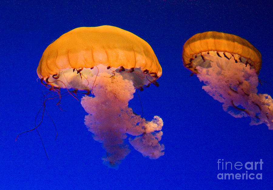 Jelly Fish Photograph - Together by Bob McGill