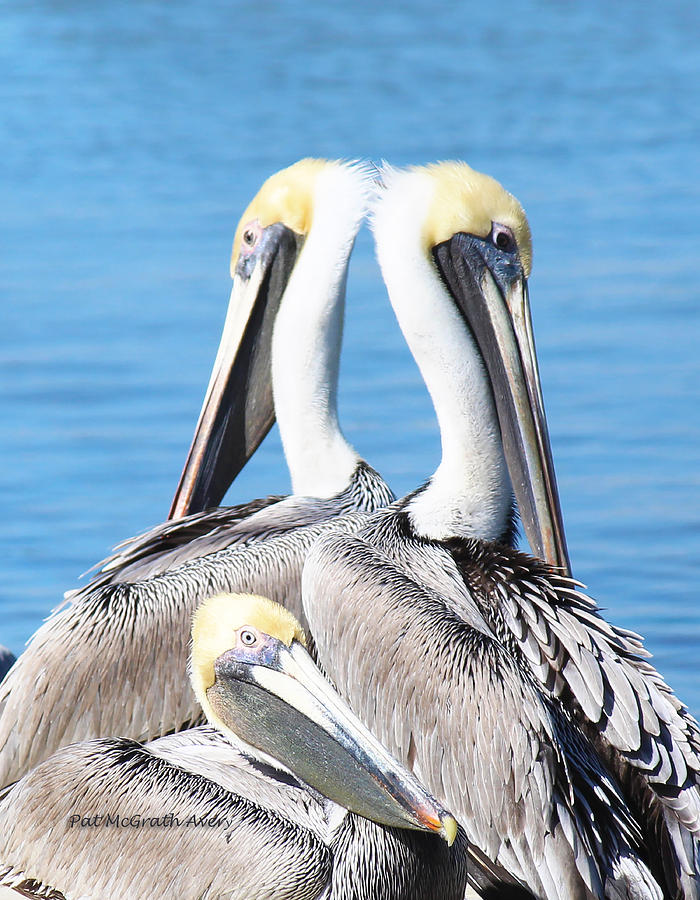 Brown Pelicans Photograph - Togetherness by Pat McGrath Avery