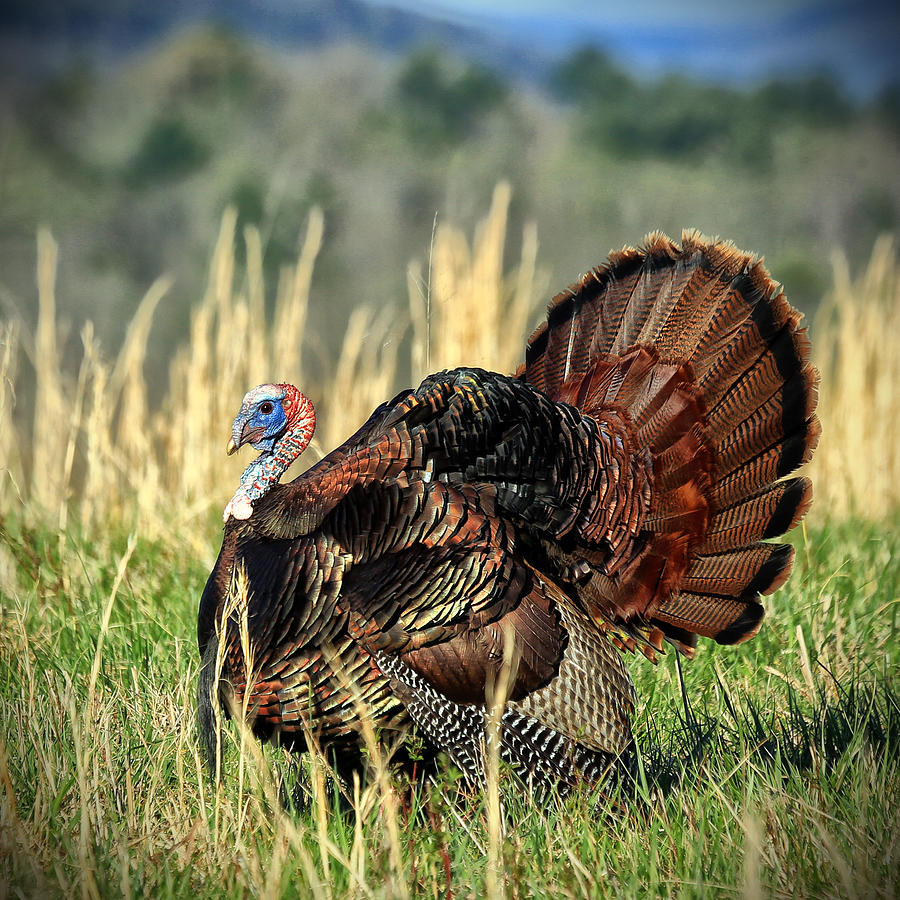 Turkey Photograph - Tom Turkey by Jaki Miller