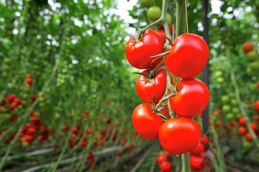 Tomato Greenhouse Photograph by Sjo