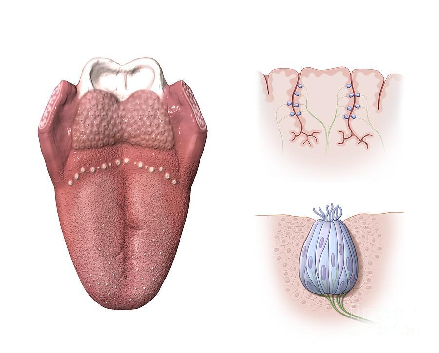 Tongue Anatomy Artwork Photograph By Henning Dalhoff