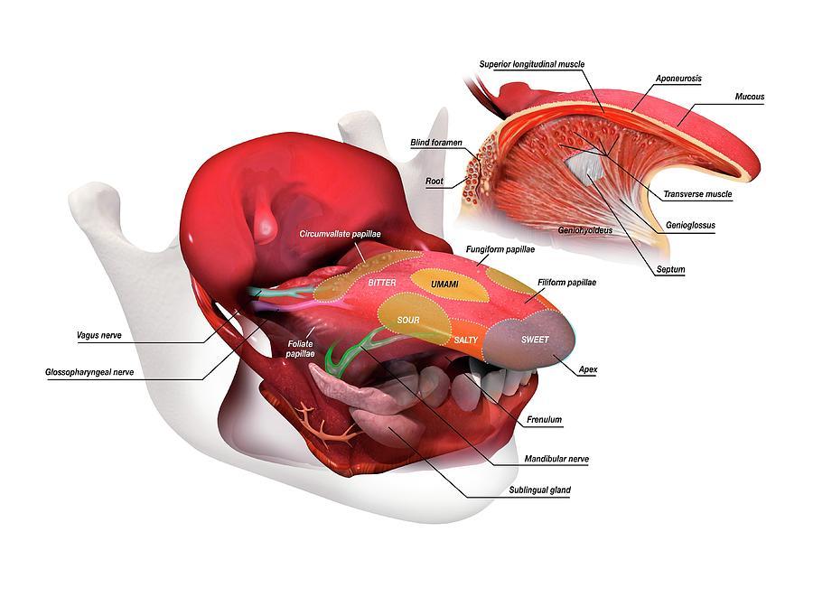 Tongue Anatomy Photograph By Jose Antonio Penasscience Photo
