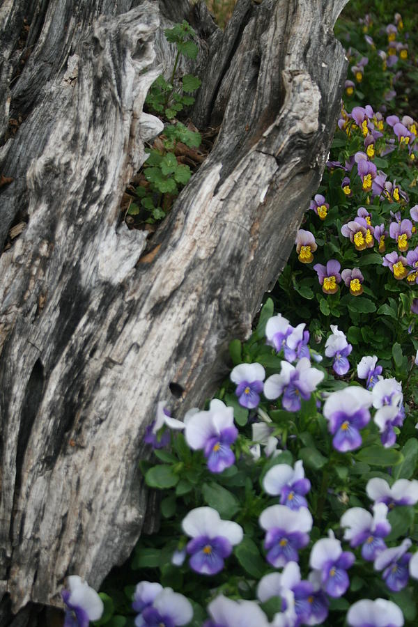 Pansy Photograph - Too Many To Count by Paulette Maffucci
