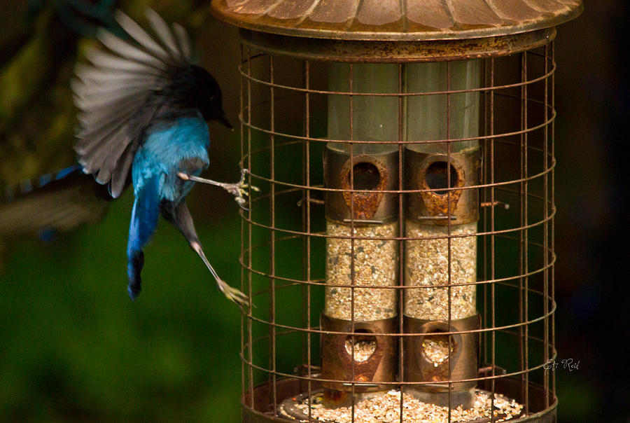 Feeder Photograph - Too Small For A Stellar Jay by Eti Reid