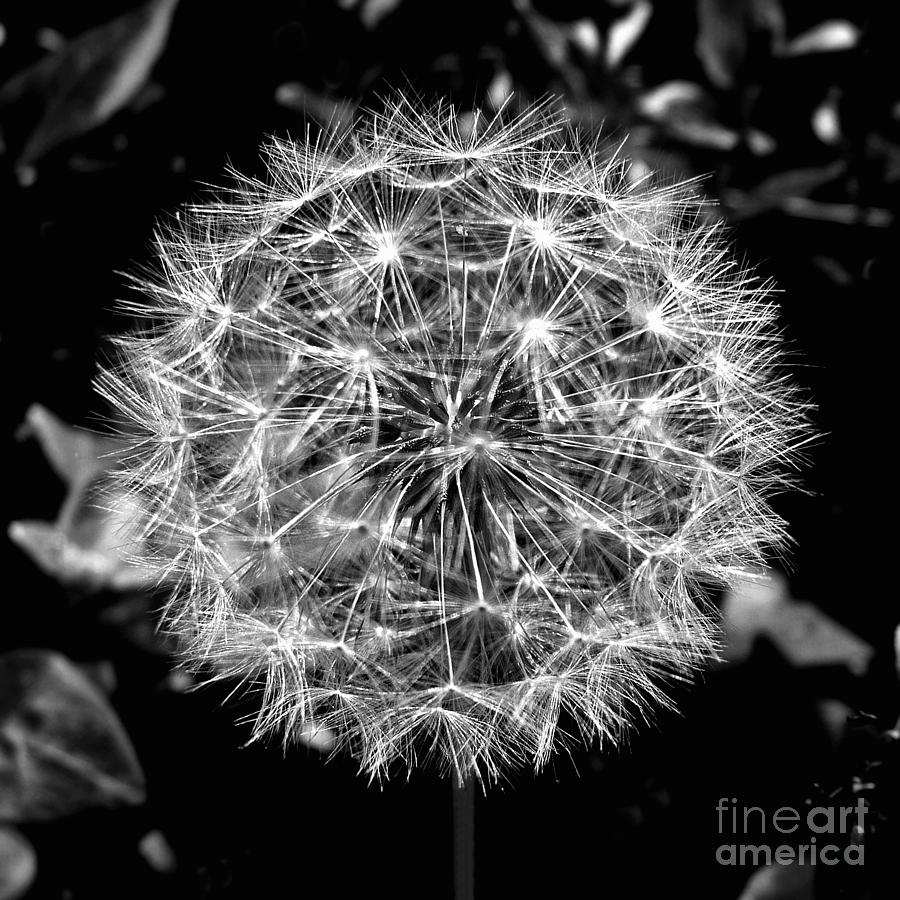 Dandelion Photograph - Tooth Of The Lion by Scott Allison