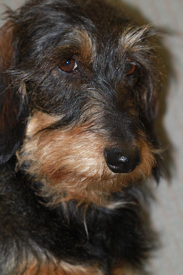 Wirehaired Dachshund Photograph - Top Dog Wirehaired Dachshund In Wooster Ohio by  Andrea Lazar