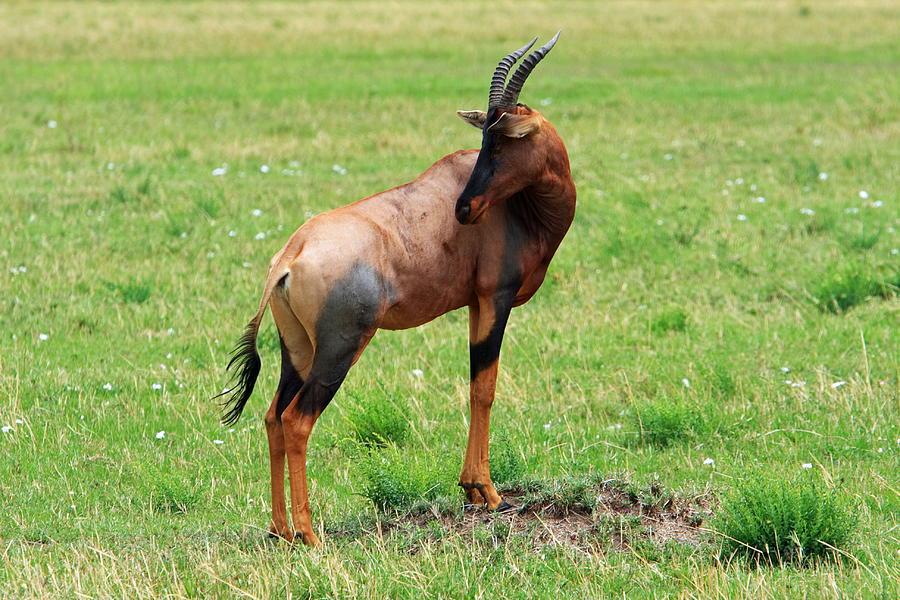East Africa Photograph - Topi Antelope On The Masai Mara by Aidan Moran