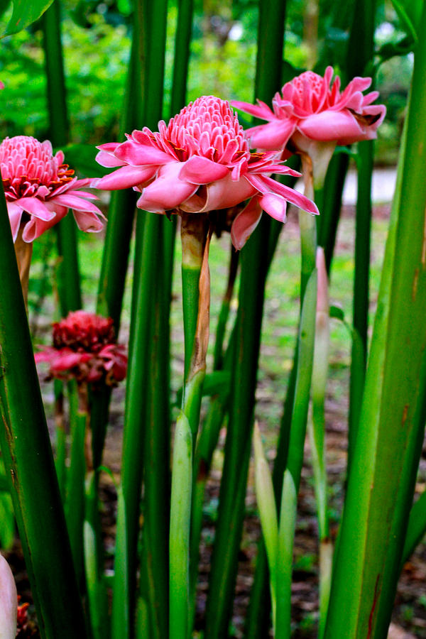 Torch Ginger Photograph - Torch Ginger Singapore Flower. Happy Easter by Donald Chen