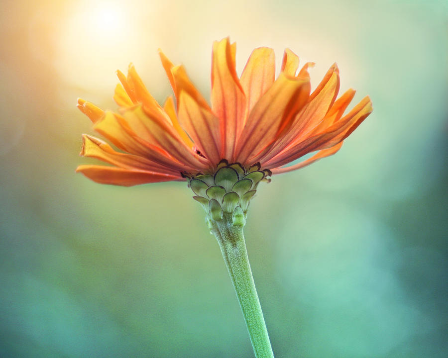 Orange Flower Photograph - Torch Song by Amy Tyler