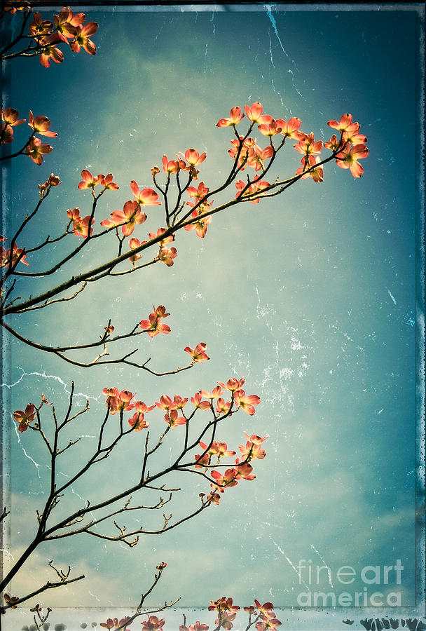 Dogwood Photograph - Touch The Sky by Colleen Kammerer