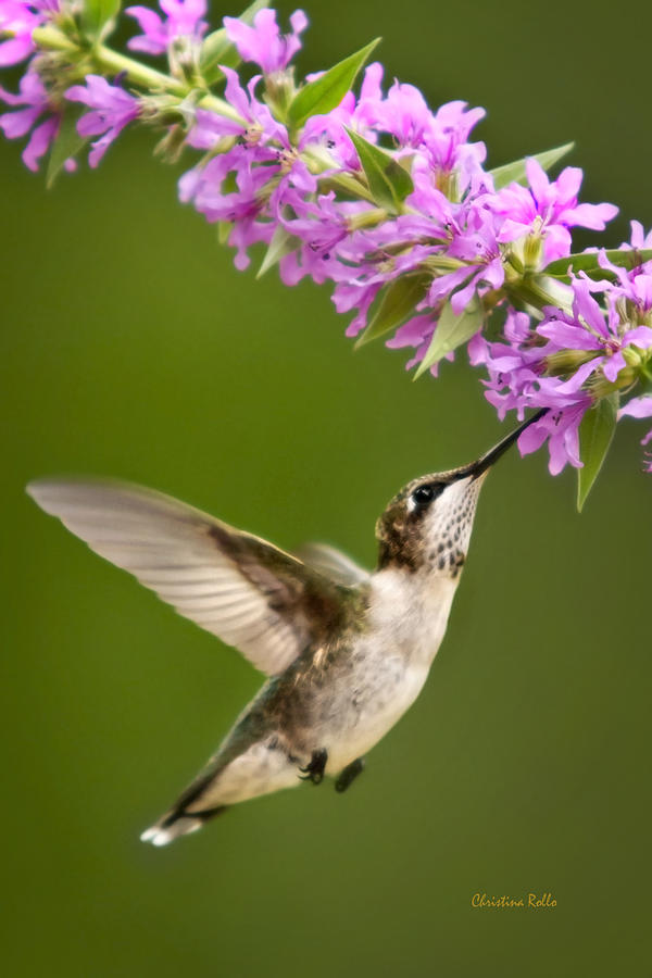 Hummingbird Photograph - Touched by Christina Rollo