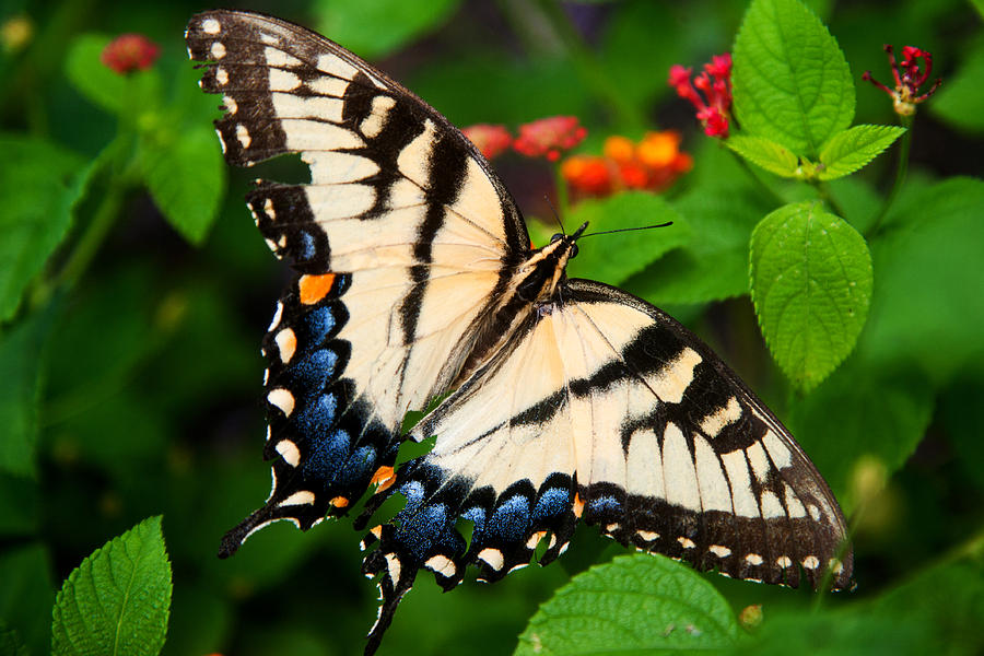 Butterfly Photograph - Tough by Christopher McPhail