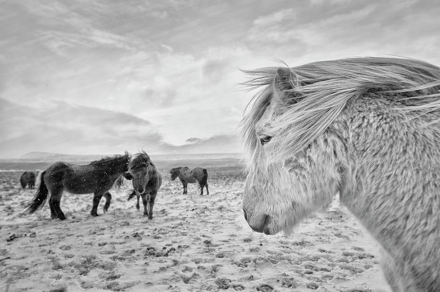Horses Photograph - Tough Guys by John Colbensen