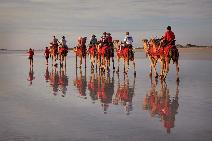 Tourist Camel Train On Cable Beach Photograph by David Wall Photo