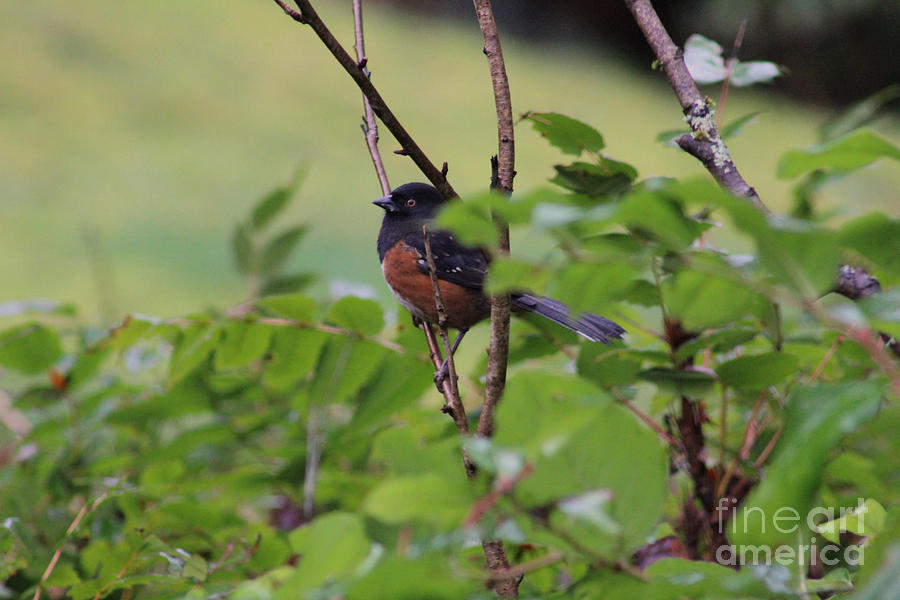 Rufous Sided Towhee Photograph - Towhee Keeps Watch On High by Kym Backland