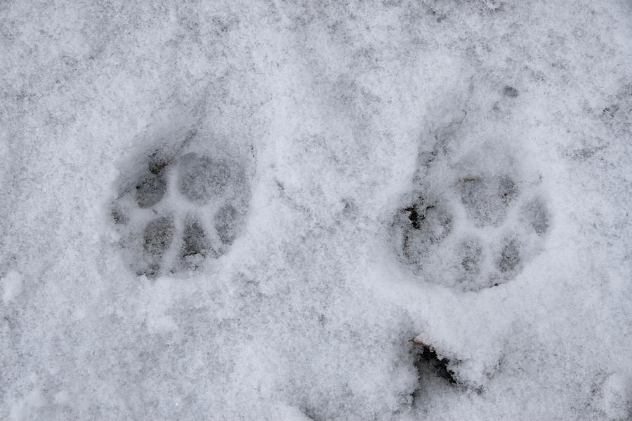 Felis Catus Photograph - Traces Of A Cat In The Snow Netherlands by Ronald Jansen