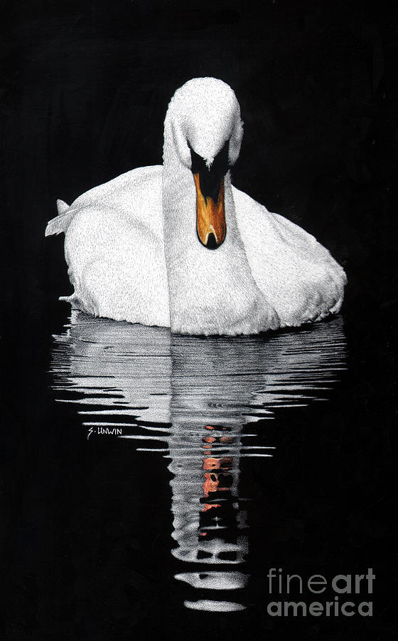 Swan Drawing - Tranquil Reflection by Sheryl Unwin