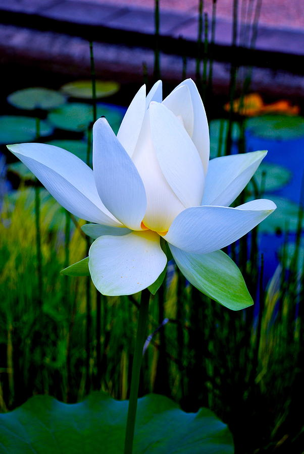 Tranquil Water Lily - Water Garden Lotus Photograph