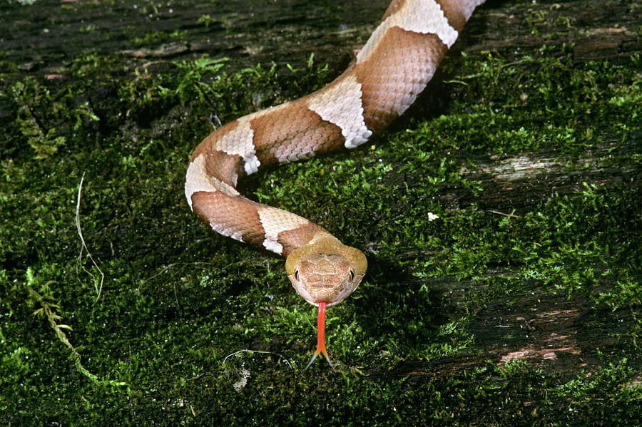 Horizontal Photograph - Trans-pecos Copperhead Agkistrodon by Animal Images