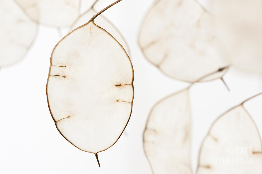Annua Photograph - Translucent by Anne Gilbert