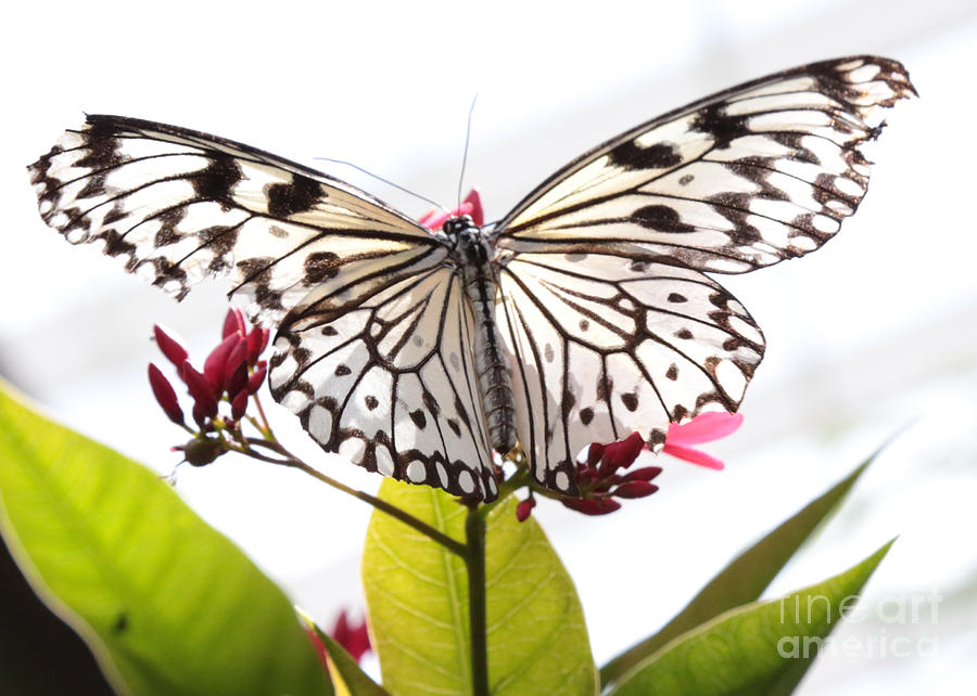 Paper Kite Butterfly Photograph - Translucent Paper Kite Butterfly by Carol Groenen