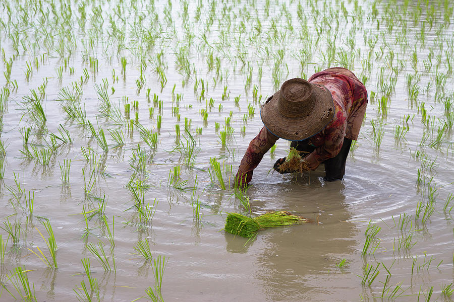 Transplanting Rice In Thailand Photograph by Richard Friend