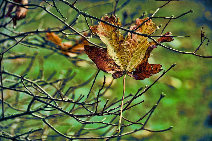 Fallen Leaf Photograph - Trapped by Bonnie Bruno