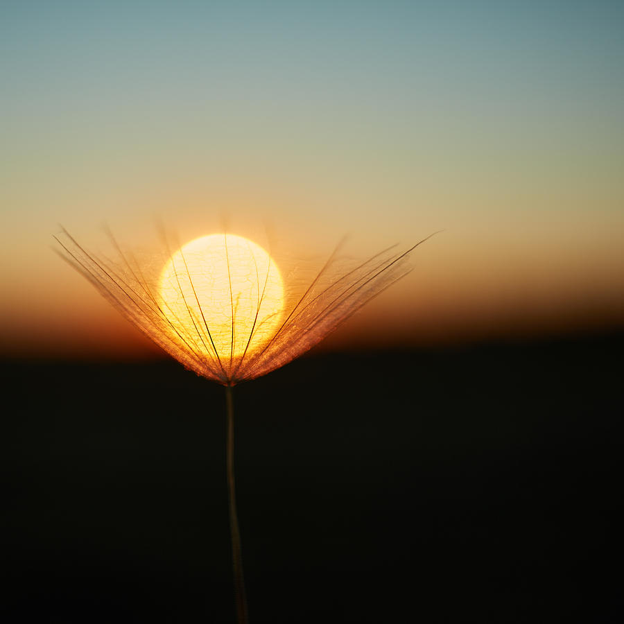 Sun Photograph - Trapped In A Downy Tuft by Milan Riha