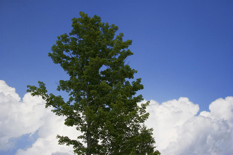 Landscape Photograph - Tree Against A Cloudy Blue Sky In Vermont by Randall Nyhof