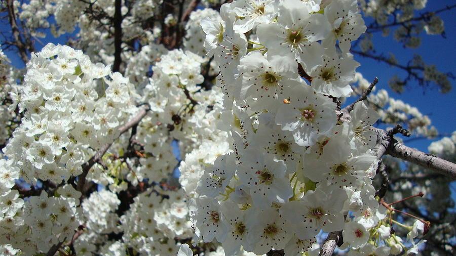 Tree Photograph - Tree Blossom  by Iam Wayne