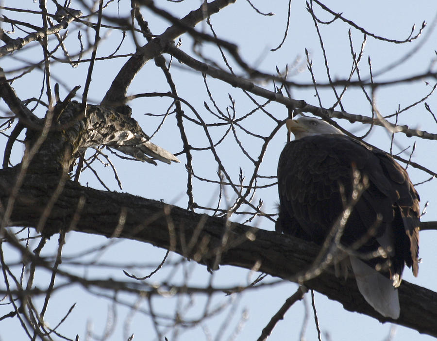 Eagle Photograph - Tree Eagle by Valerie Wolf