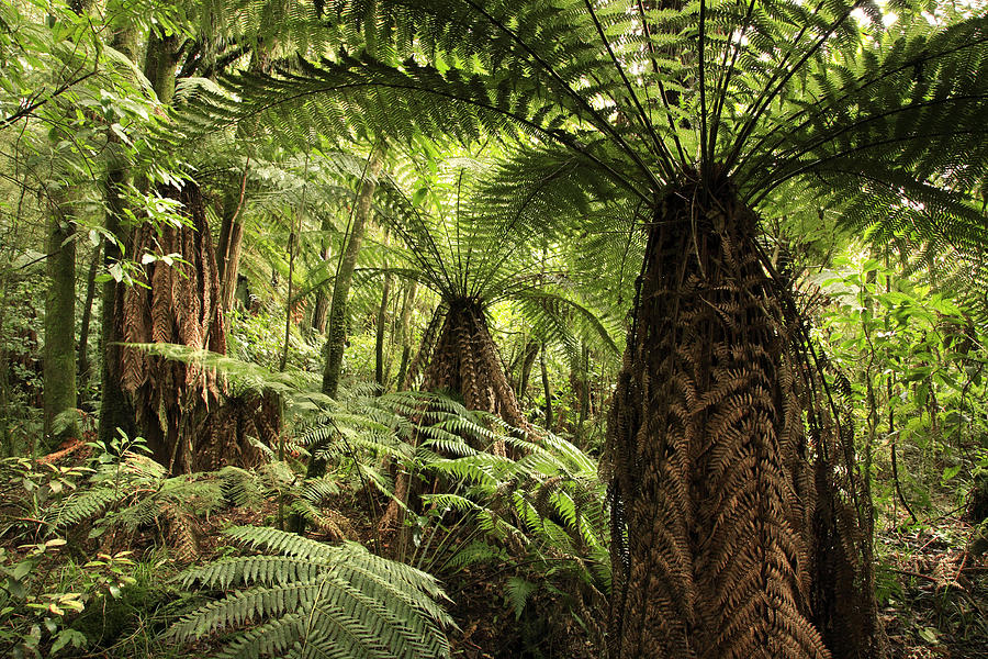 Forest Photograph - Tree Ferns by Les Cunliffe