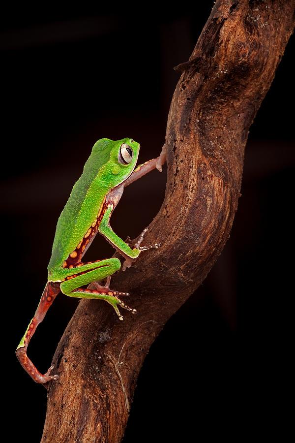 Tree Frog Climbing Photograph by Dirk Ercken