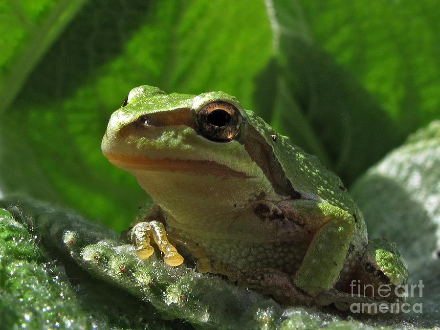 Frog Photograph - Tree Frog by Inge Riis McDonald