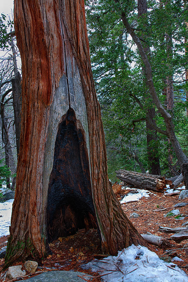 California Photograph - Tree Hollow by Peter Tellone