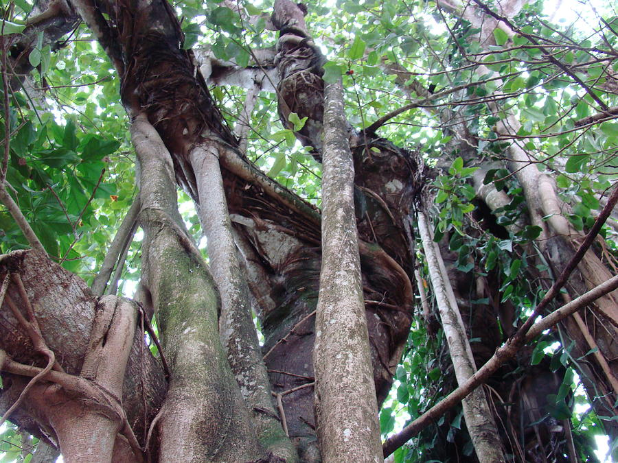 Seminole Photograph - Tree Hugger 3 by Van Ness
