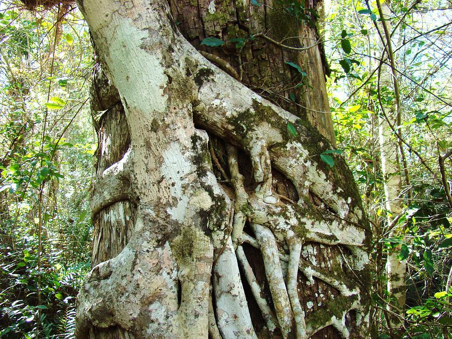 Seminole Photograph - Tree Hugger 6 by Van Ness
