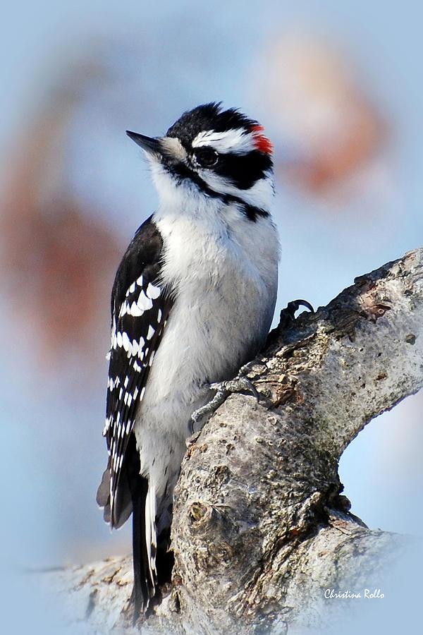 Bird Photograph - Tree Huggin Nut Lover by Christina Rollo