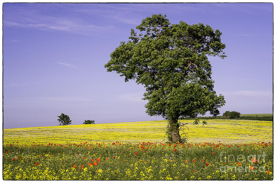 Landscape Photograph - Tree In Rape Field No1 by George Hodlin