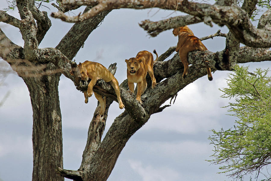 Lions Photograph - Tree Lions by Tony Murtagh