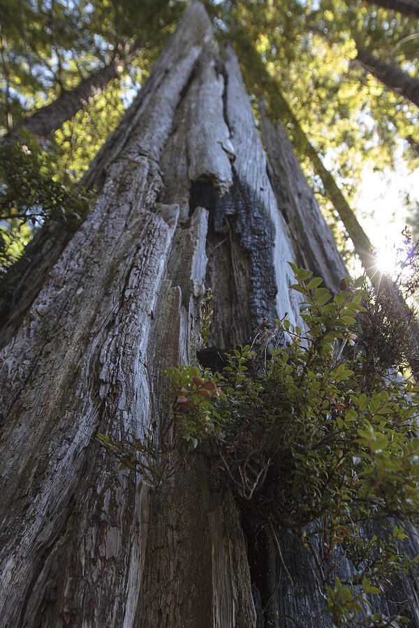 Redwood Photograph - Tree Of Mystery #1 by Rick Starbuck
