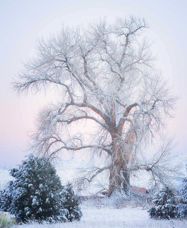 Tree Of Snow Photograph