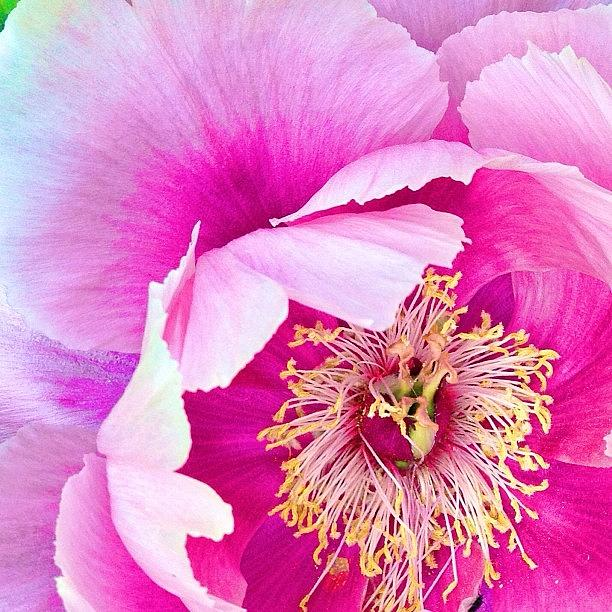 Flower Photograph - Tree Peony....what An Amazing Flower by Blenda Studio