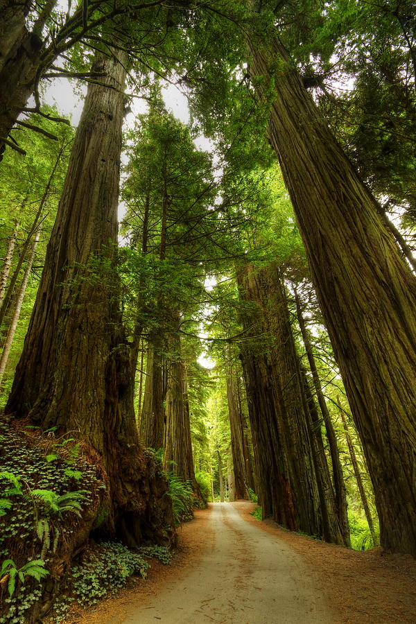 Redwood Photograph - Tree Redwood Ca 3 by John Brueske