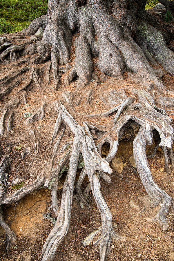 Tree Root Photograph - Tree Root by Matthias Hauser